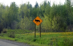 Danger, Moose crossing